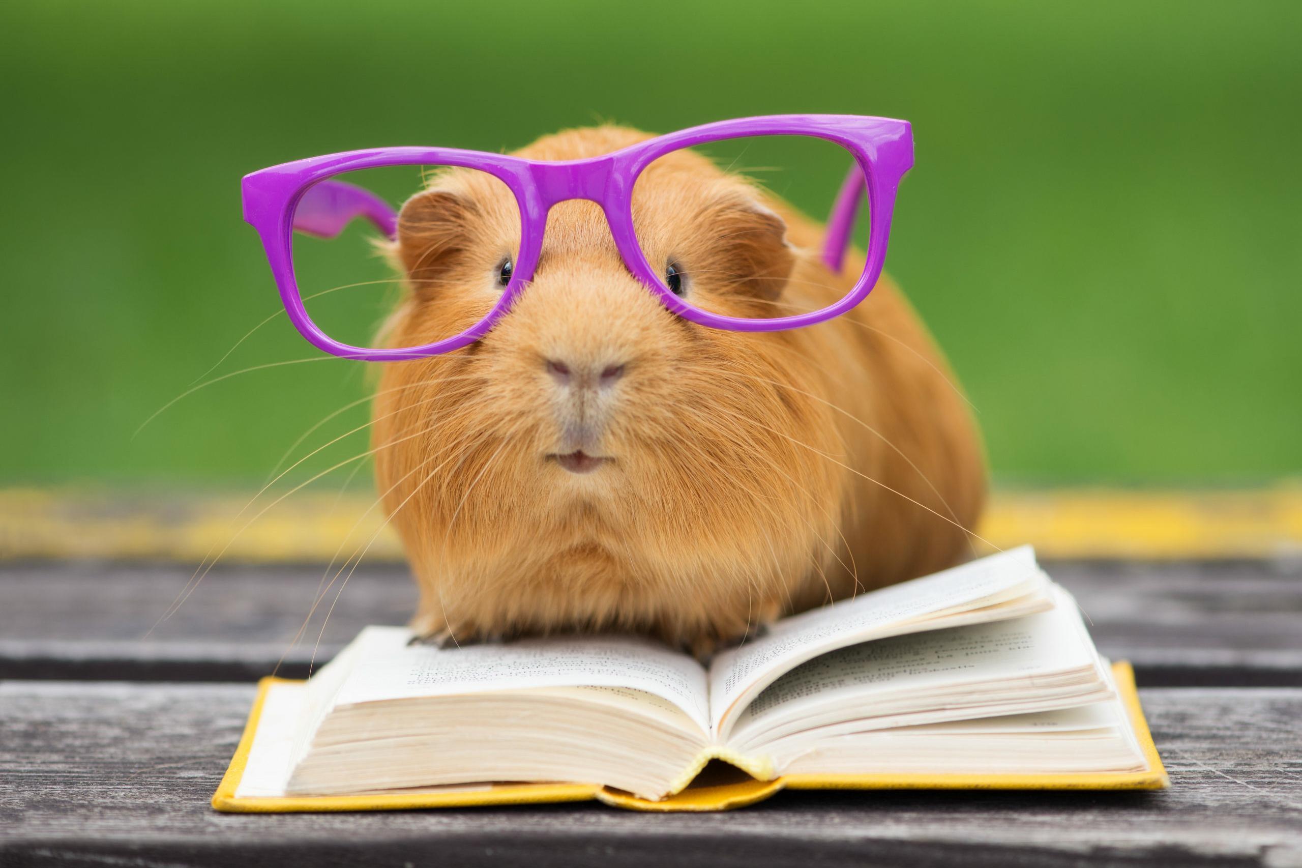 Talent: Ein Hamster hat eine Brille auf und steht auf einem Buch