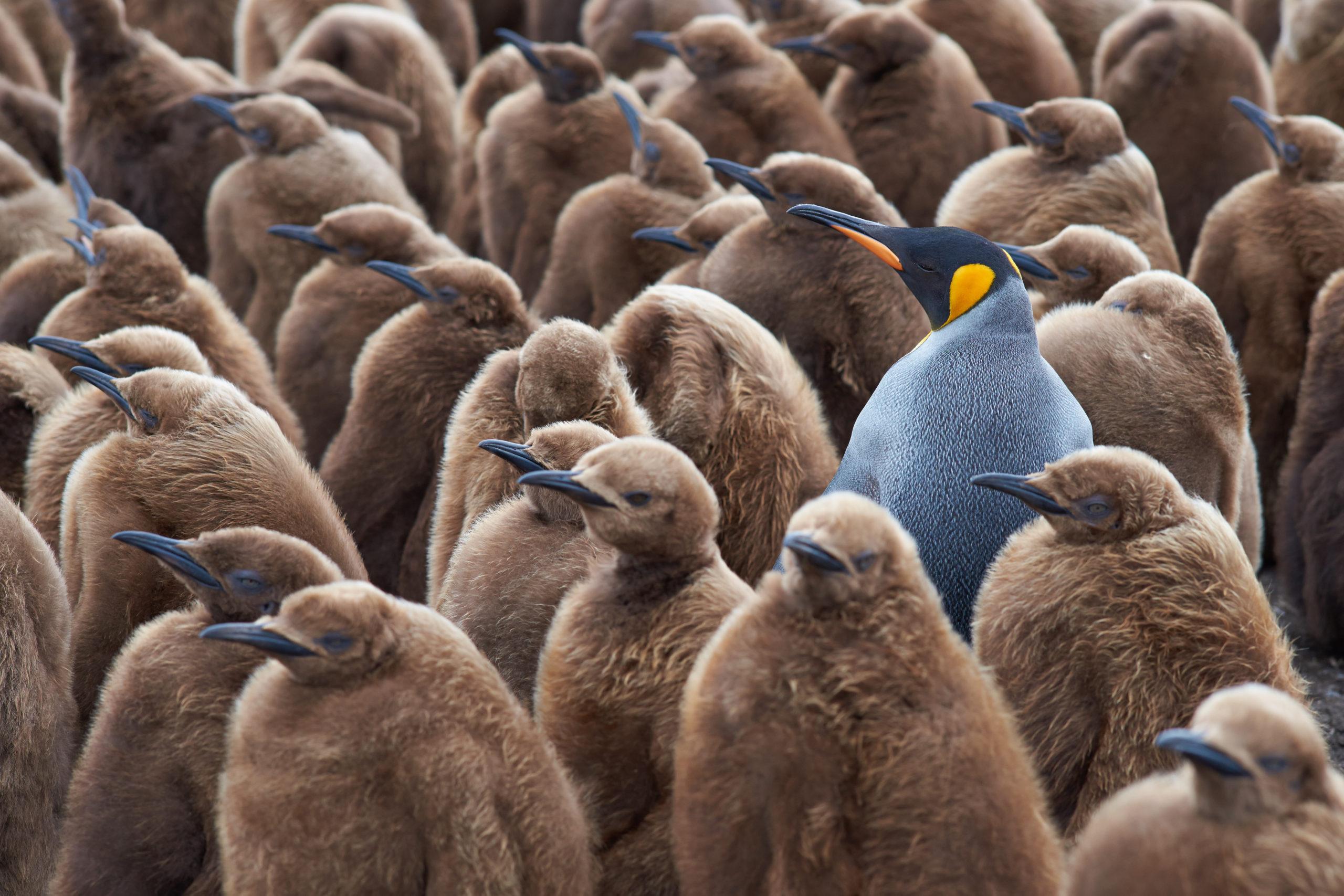 Die eigene Persönlichkeit: Königspinguin in einer Gruppe von heranwachsenden Pinguinen