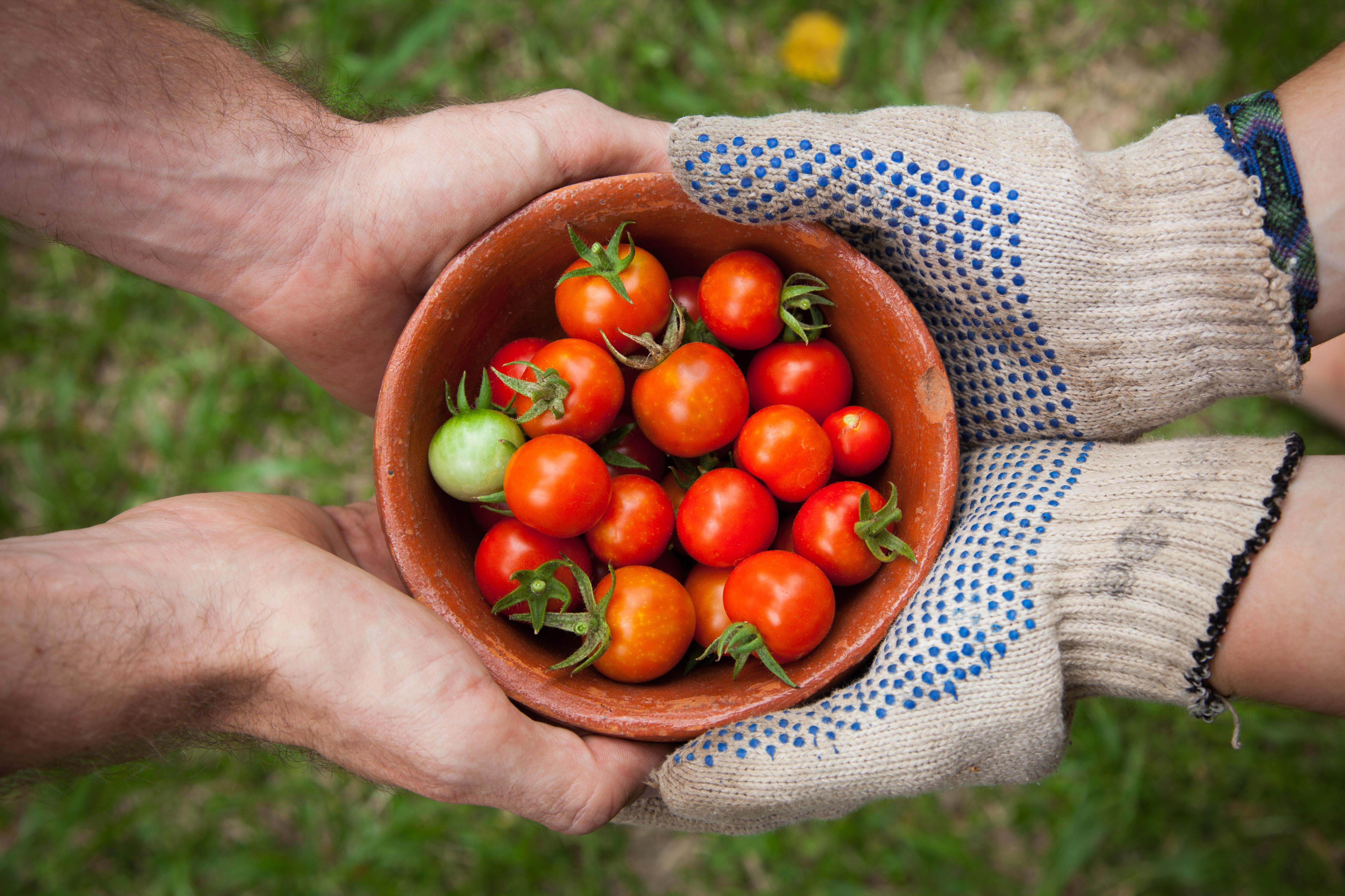 Urban Gardening: Zwei Paar Hände halten eine Tonschüssel mit Tomaten