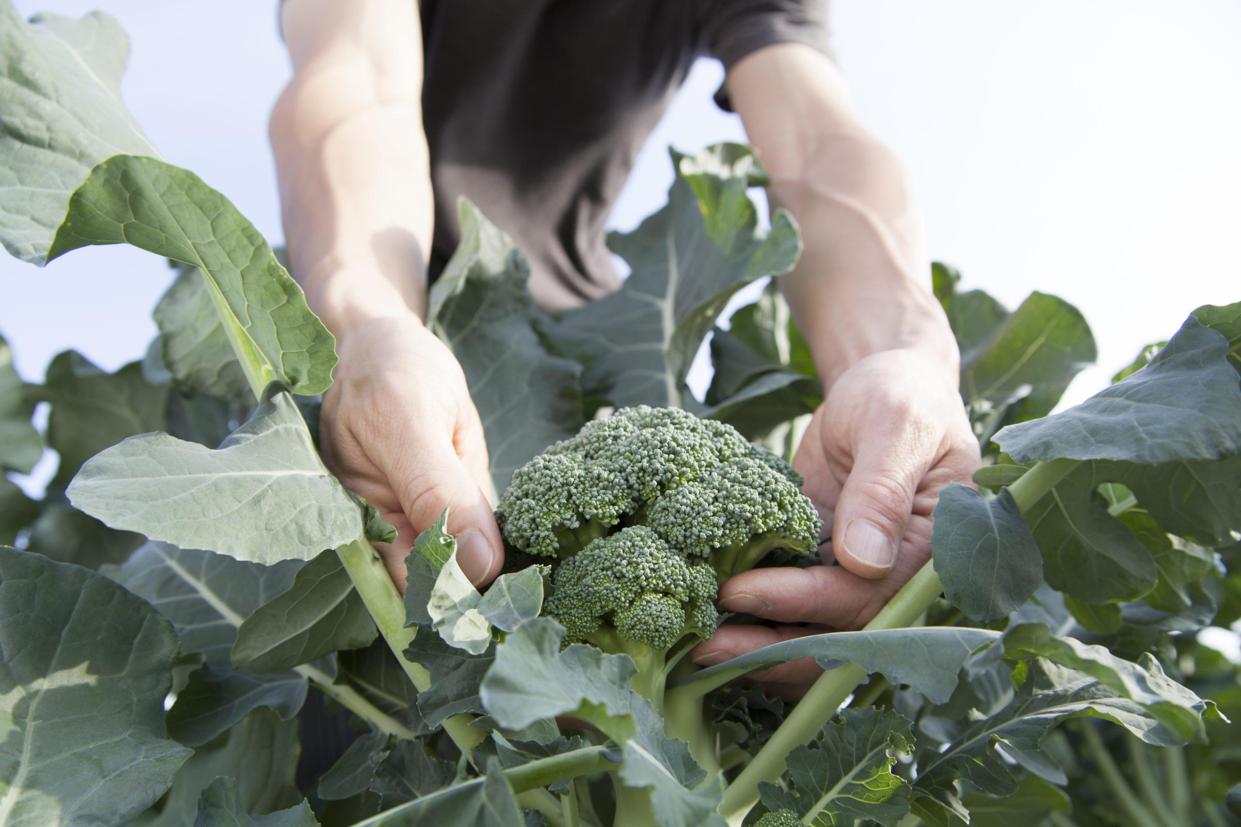 Superfood: Ein Mann erntet frischen Brokkoli