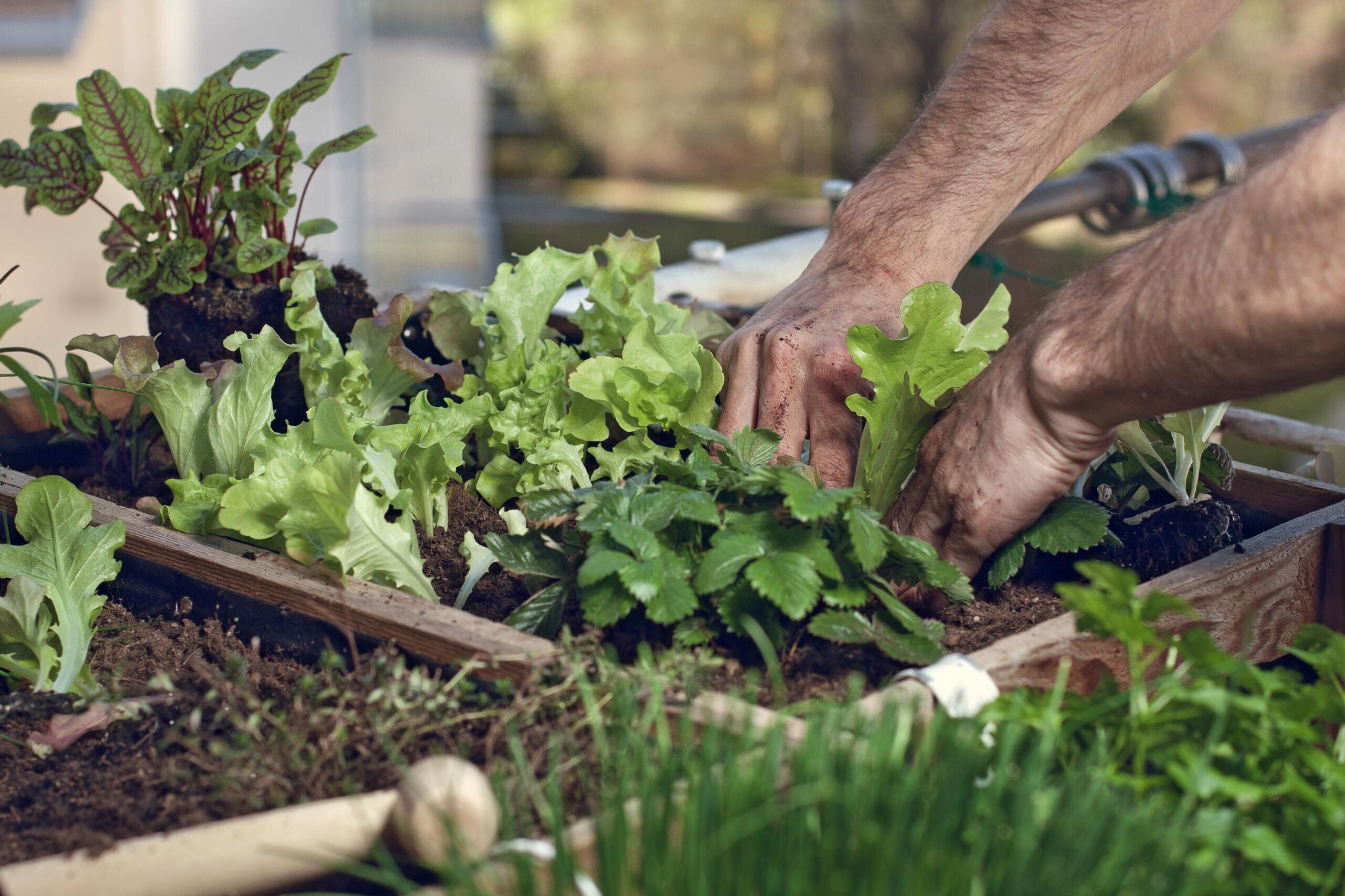 Urban Gardening: Pflücksalat im Hochbeet am Balkon anpflanzen