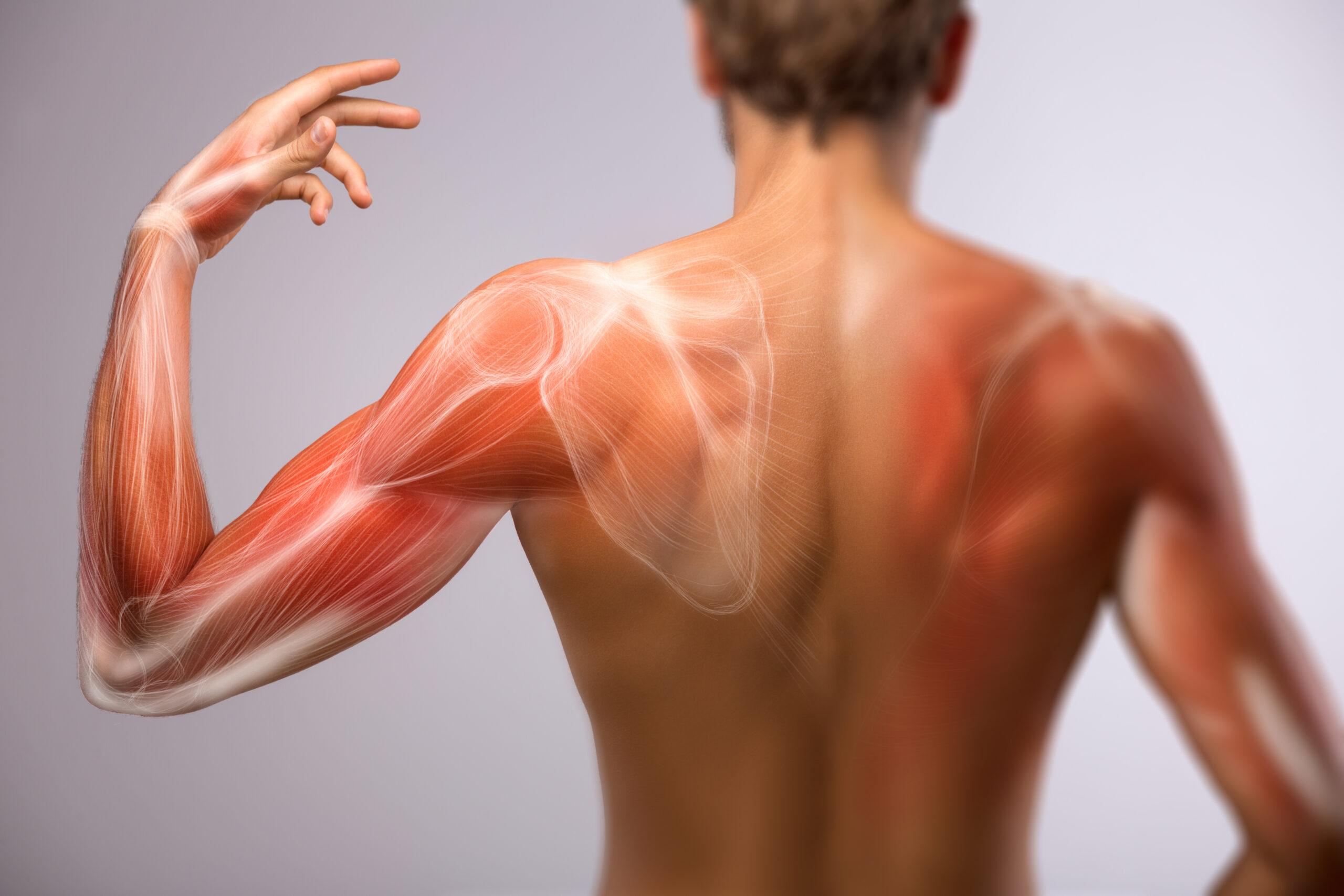 Faszien: Ansicht auf die Körper-Rückseite. Anatomie des menschlichen Arms und Schulterblatts